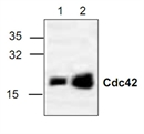 CDC42 Antibody thumbnail image 1