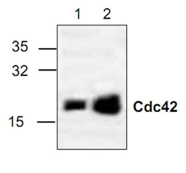 CDC42 Antibody gallery image 1
