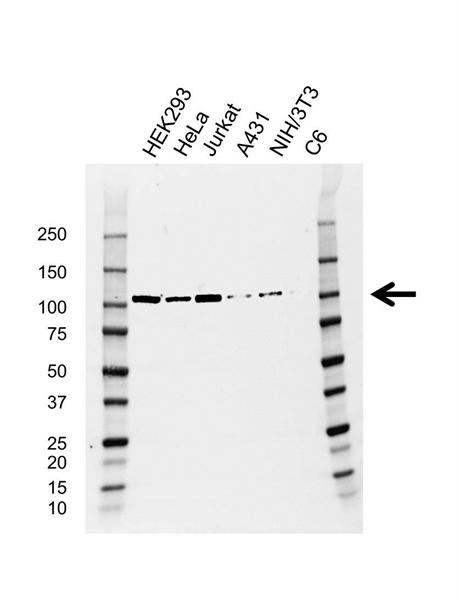 CDC5L Antibody (PrecisionAb<sup>TM</sup> Antibody) | AB01/1F6 gallery image 1