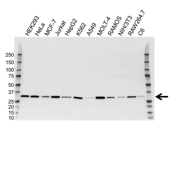CDK2 Antibody (PrecisionAb<sup>TM</sup> Antibody) gallery image 1