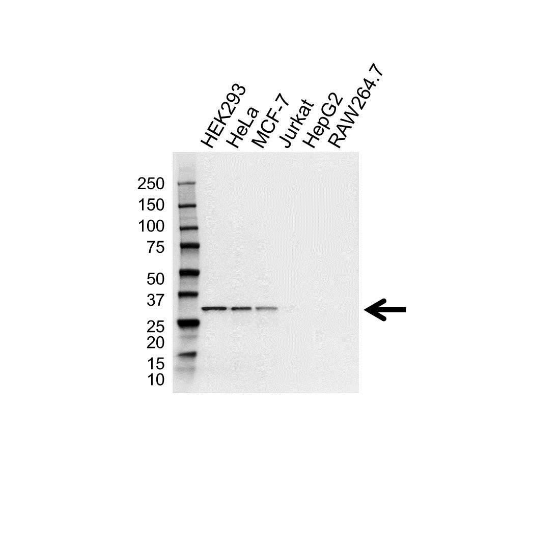 CDK4 Antibody (PrecisionAb<sup>TM</sup> Antibody) gallery image 1