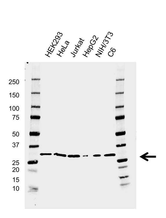 CDK5 Antibody (PrecisionAb<sup>TM</sup> Antibody) | AB04/3H6 gallery image 1