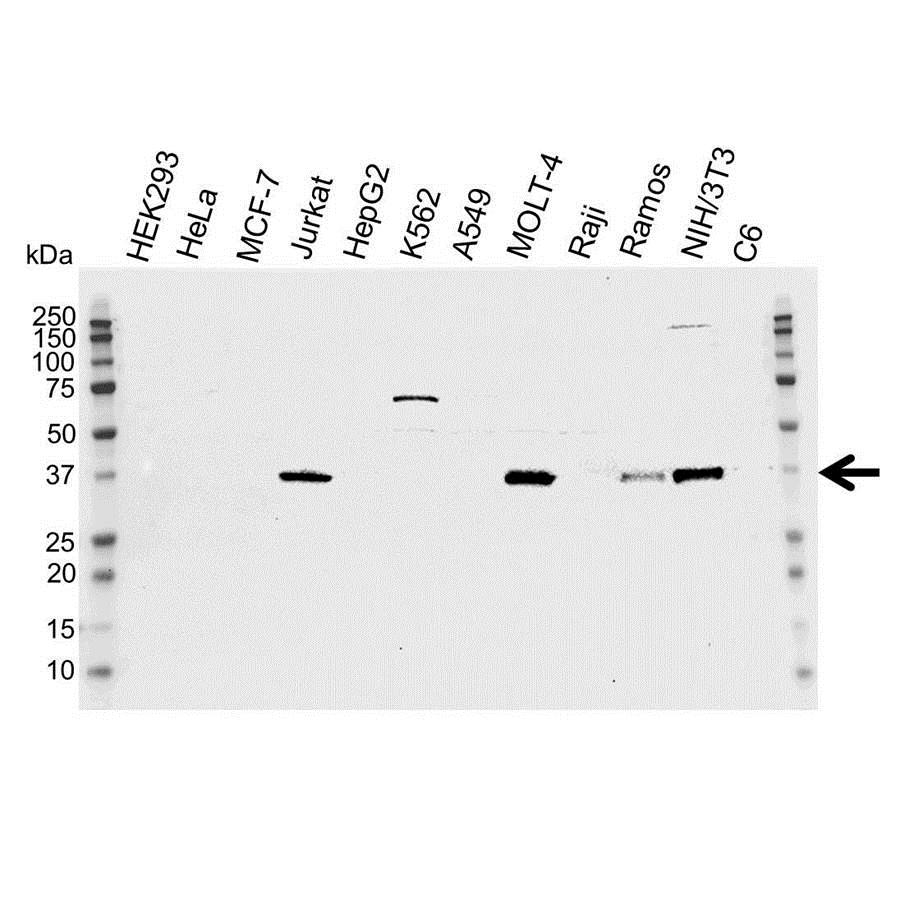 Cdk6 Antibody (PrecisionAb<sup>TM</sup> Antibody) gallery image 1