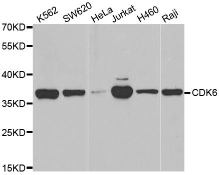 Cdk6 Antibody gallery image 1