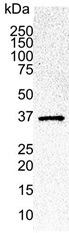 Cdk6 Antibody | DCS-83.1 gallery image 1