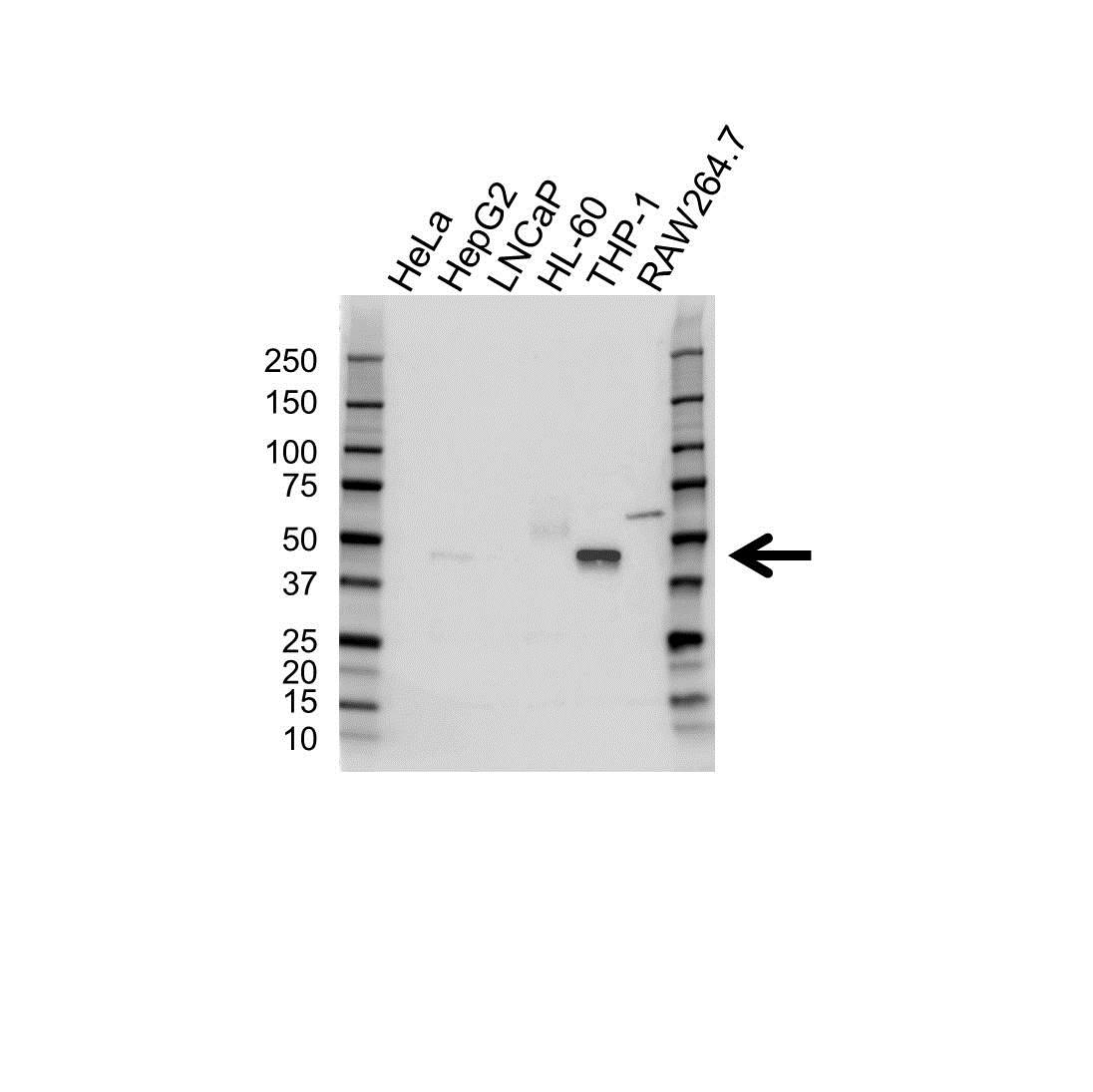 Cebpa Antibody (PrecisionAb<sup>TM</sup> Antibody) gallery image 1