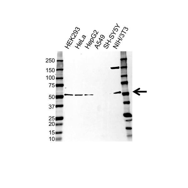 CELF1 Antibody (PrecisionAb<sup>TM</sup> Antibody) gallery image 1