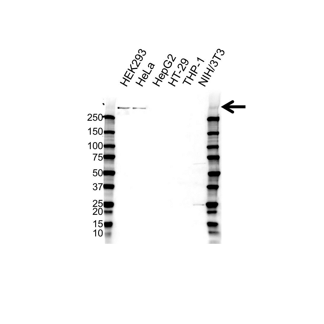 Centromere Protein F Antibody (PrecisionAb<sup>TM</sup> Antibody) gallery image 1