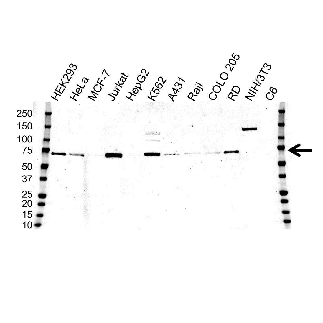 CHAF1B Antibody (PrecisionAb<sup>TM</sup> Antibody) | OTI2D5 gallery image 1