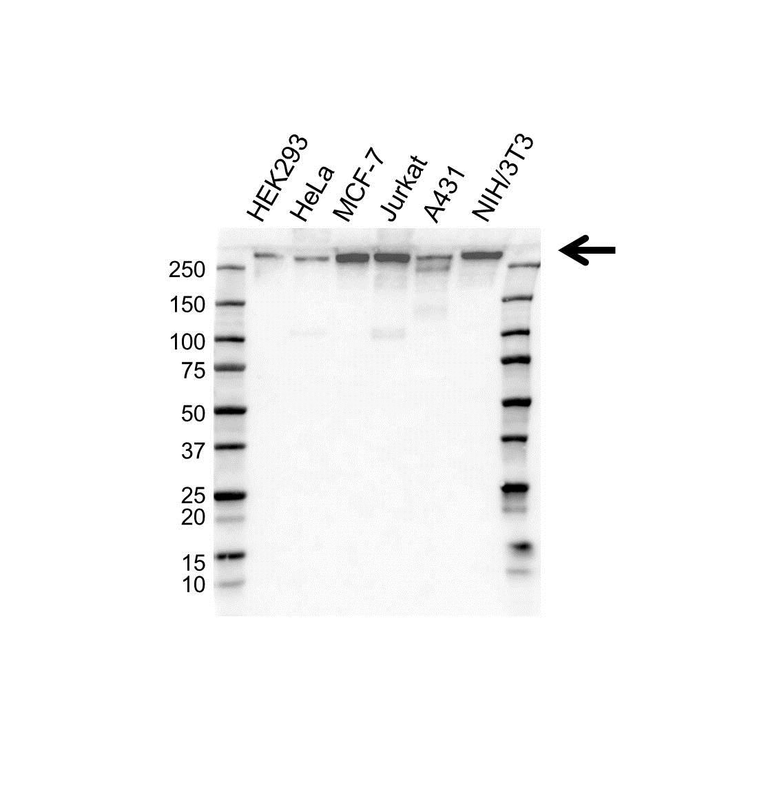 CHD3 Antibody (PrecisionAb<sup>TM</sup> Antibody) gallery image 1