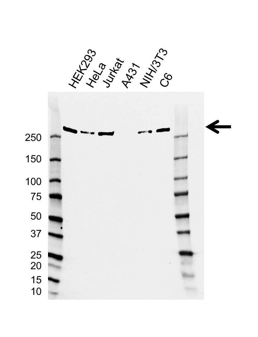 CHD4 Antibody (PrecisionAb<sup>TM</sup> Antibody)   AB01/2B7 gallery image 1