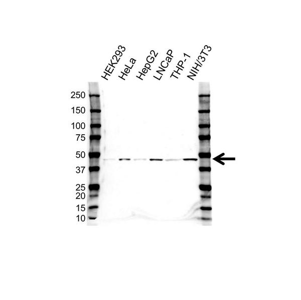 CHI3L1 Antibody (PrecisionAb<sup>TM</sup> Antibody) gallery image 1