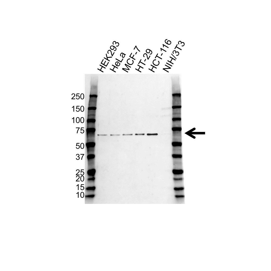 CHK2 Antibody (PrecisionAb<sup>TM</sup> Antibody) gallery image 1