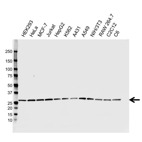 CHP2 Antibody (PrecisionAb<sup>TM</sup> Antibody) | CPTC19 gallery image 1