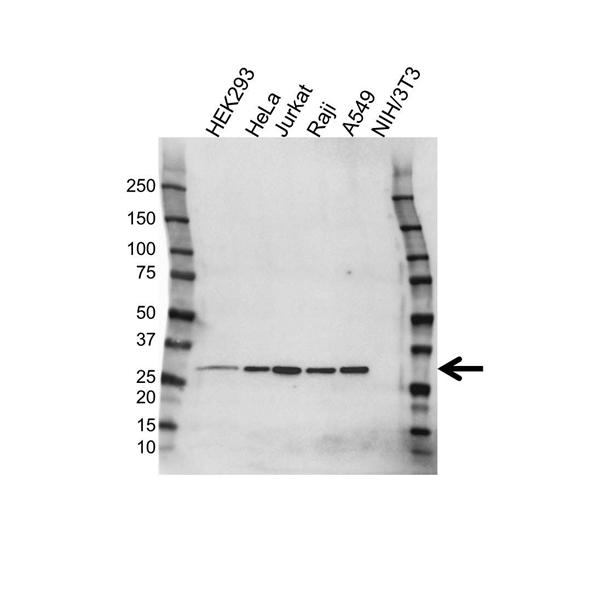 CK1 Antibody (PrecisionAb<sup>TM</sup> Antibody) gallery image 1