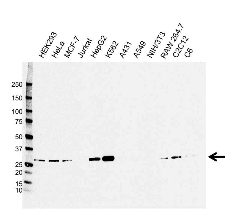 CLIC1 Antibody (PrecisionAb<sup>TM</sup> Antibody) | CPTC32 gallery image 1