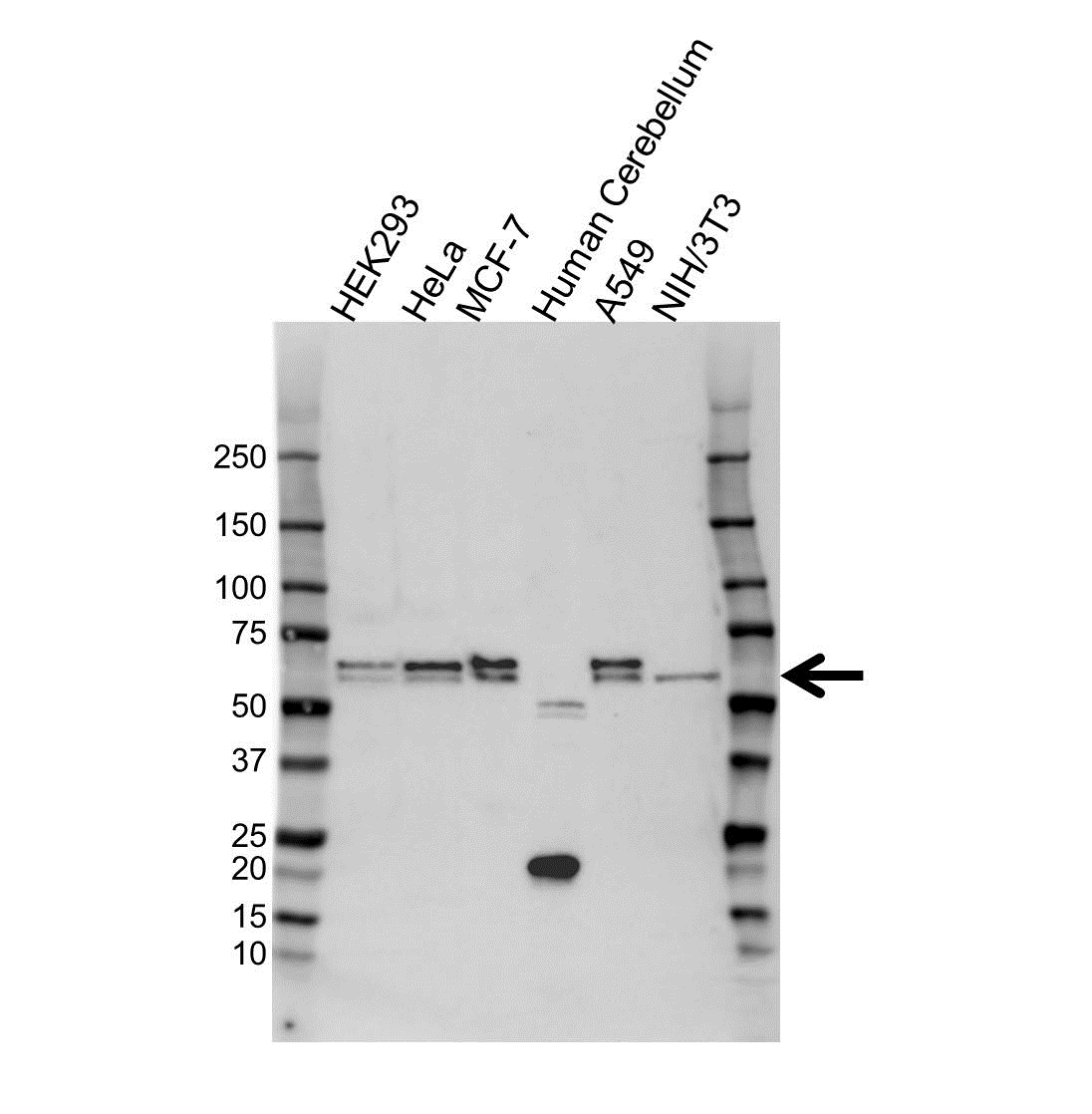 Clusterin Antibody (PrecisionAb<sup>TM</sup> Antibody) gallery image 1
