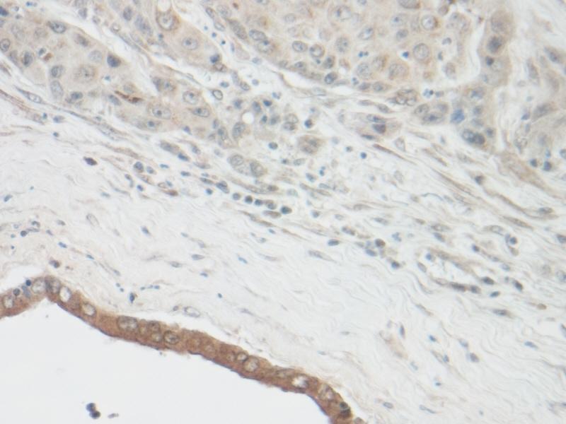 CNTF Antibody gallery image 2
