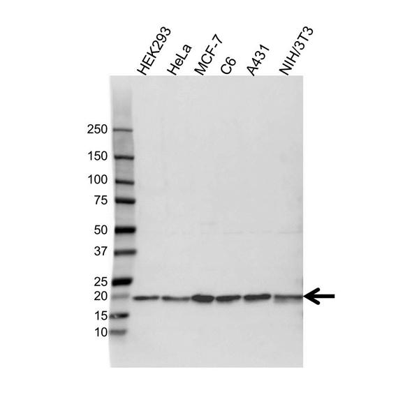 Cofilin 1 Antibody (PrecisionAb<sup>TM</sup> Antibody) gallery image 1