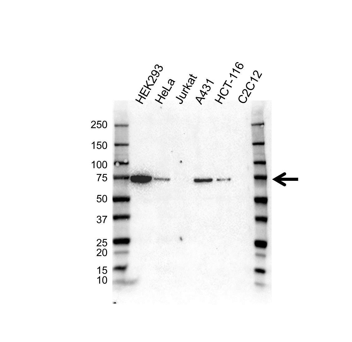 COL4A3BP Antibody (PrecisionAb<sup>TM</sup> Antibody) gallery image 1