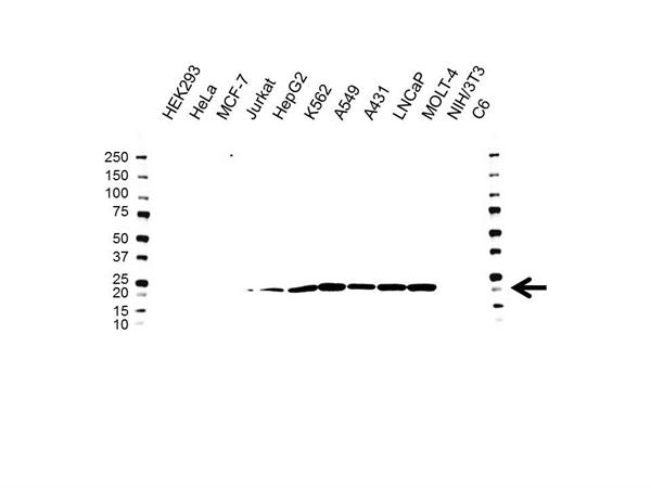 COMMD1 Antibody (PrecisionAb<sup>TM</sup> Antibody) | OTI3B3 gallery image 1