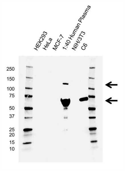 Complement C3 Antibody (PrecisionAb<sup>TM</sup> Antibody) | AB03/3G11 gallery image 1