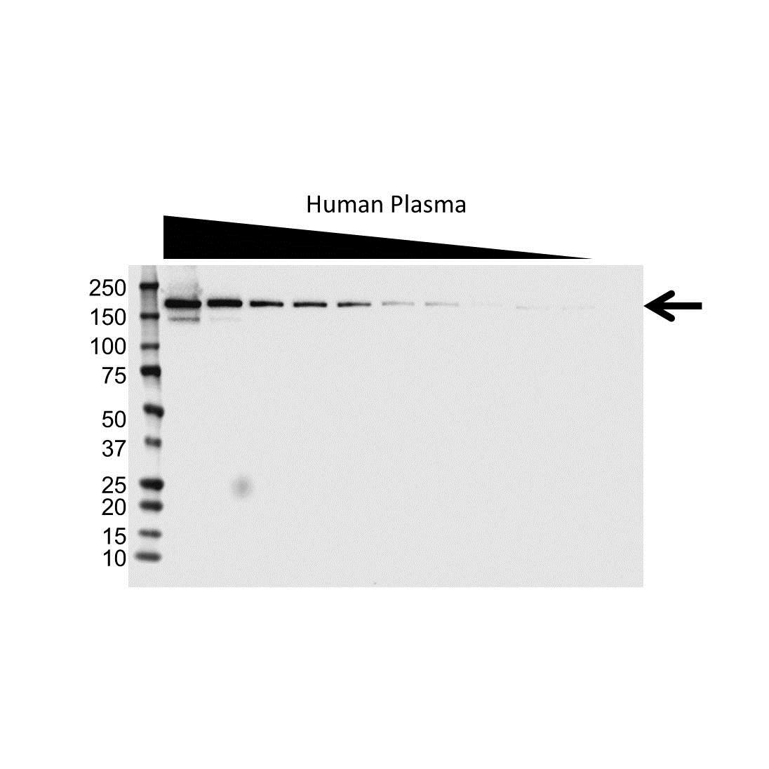 Complement Factor H Antibody (PrecisionAb<sup>TM</sup> Antibody) gallery image 1
