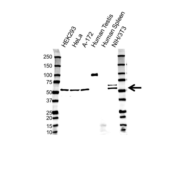 COP9 Signalosome Complex Subunit 1 Antibody (PrecisionAb<sup>TM</sup> Antibody) gallery image 1