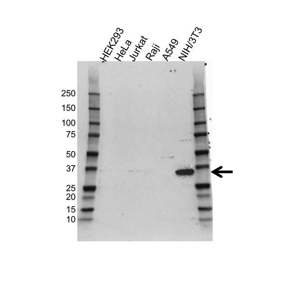 COP9 Signalosome Subunit 6 Antibody (PrecisionAb<sup>TM</sup> Antibody) gallery image 1