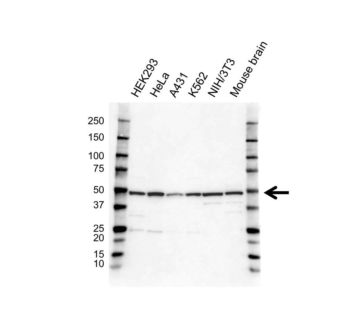 COPS2 Antibody (PrecisionAb<sup>TM</sup> Antibody) gallery image 1