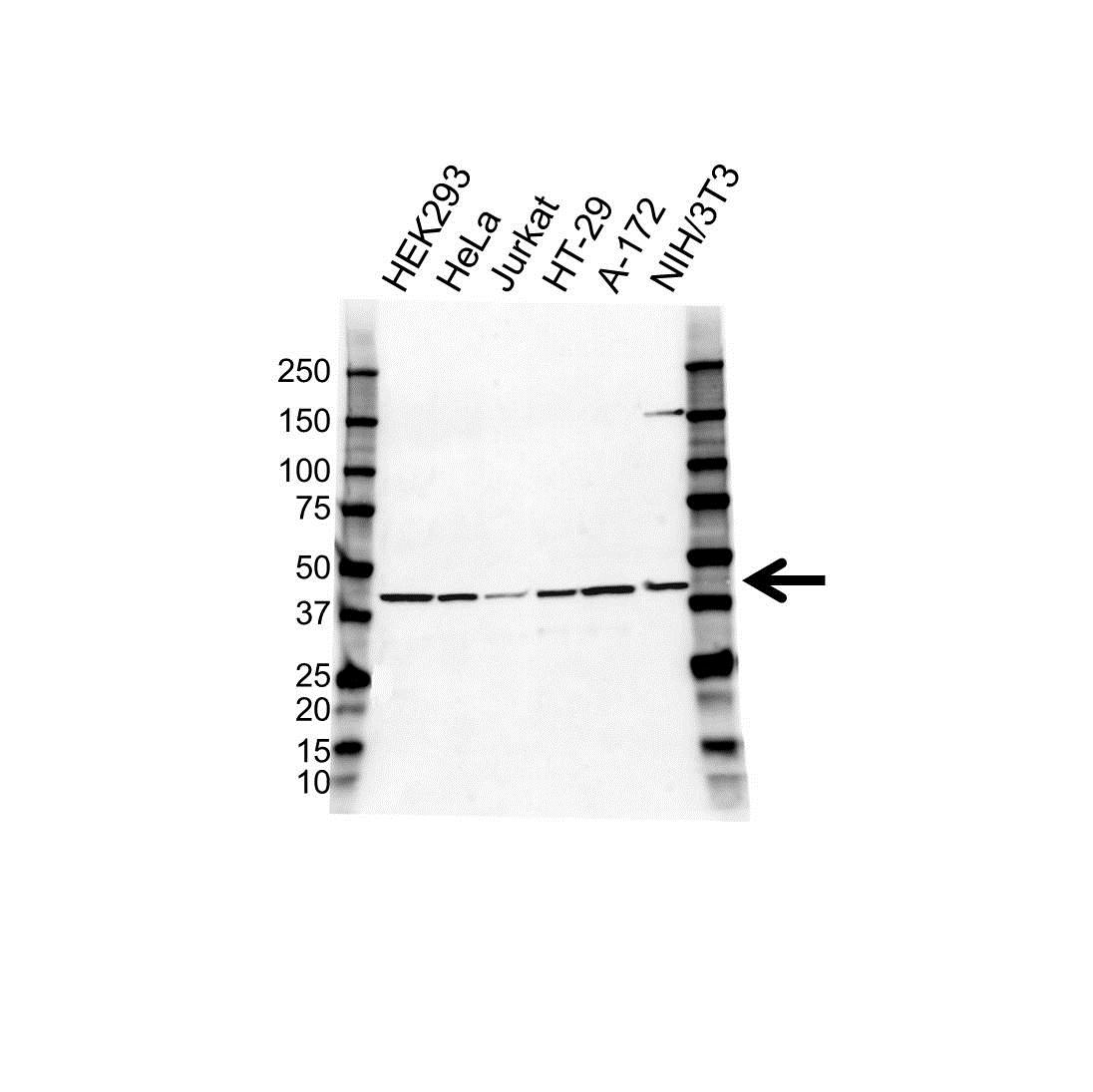COPS3 Antibody (PrecisionAb<sup>TM</sup> Antibody) gallery image 1