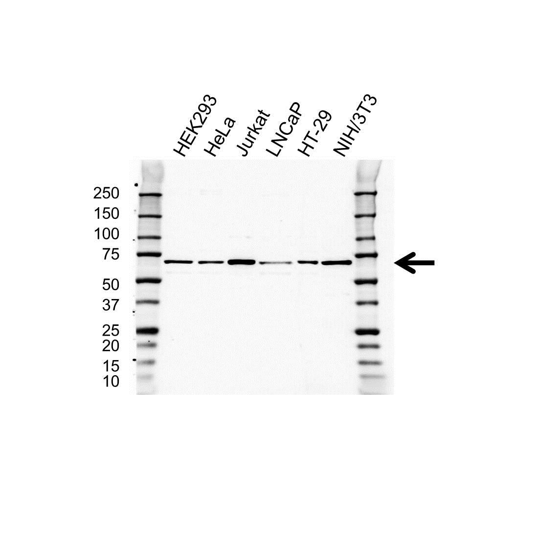 CoREST Antibody (PrecisionAb<sup>TM</sup> Antibody) gallery image 1