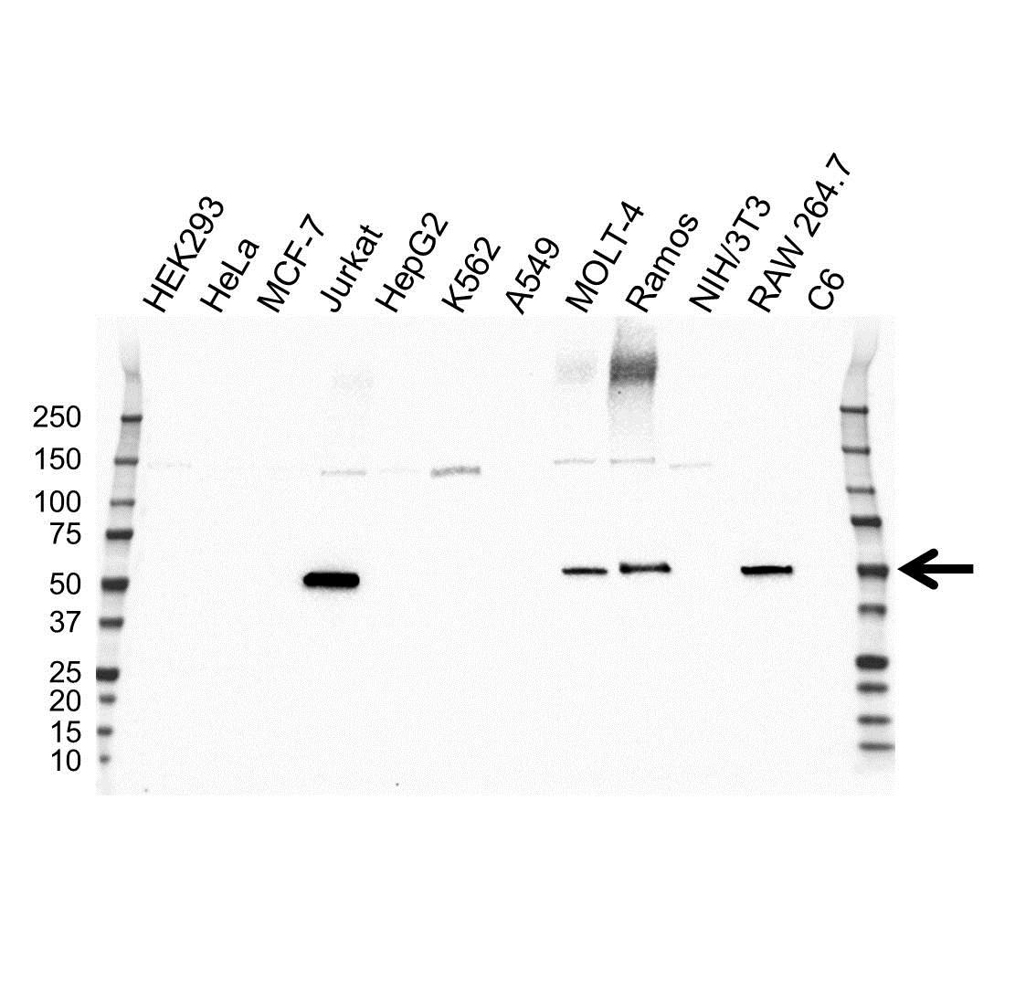 Coro1A Antibody (PrecisionAb<sup>TM</sup> Antibody) | OTI1A5 gallery image 1