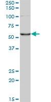 CORO1C Antibody | 1F7 gallery image 1