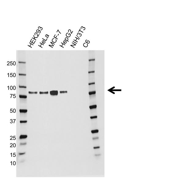 Cortactin Antibody (PrecisionAb<sup>TM</sup> Antibody) gallery image 1