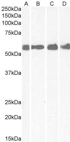 Corticotropin Releasing Factor Receptor 1 Antibody gallery image 1