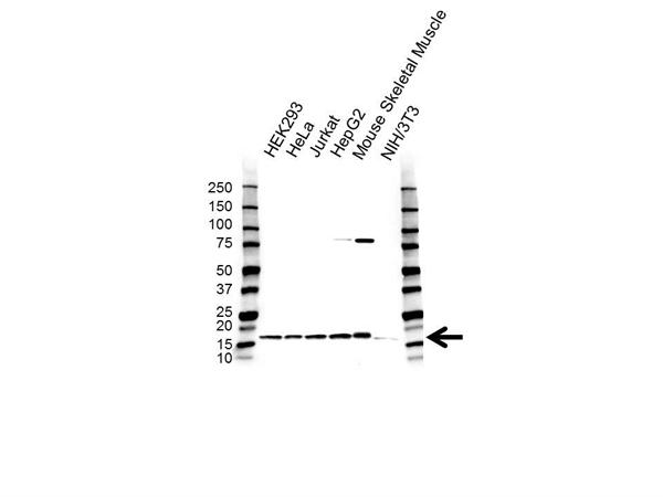 COX4I1 Antibody (PrecisionAb<sup>TM</sup> Antibody) gallery image 1