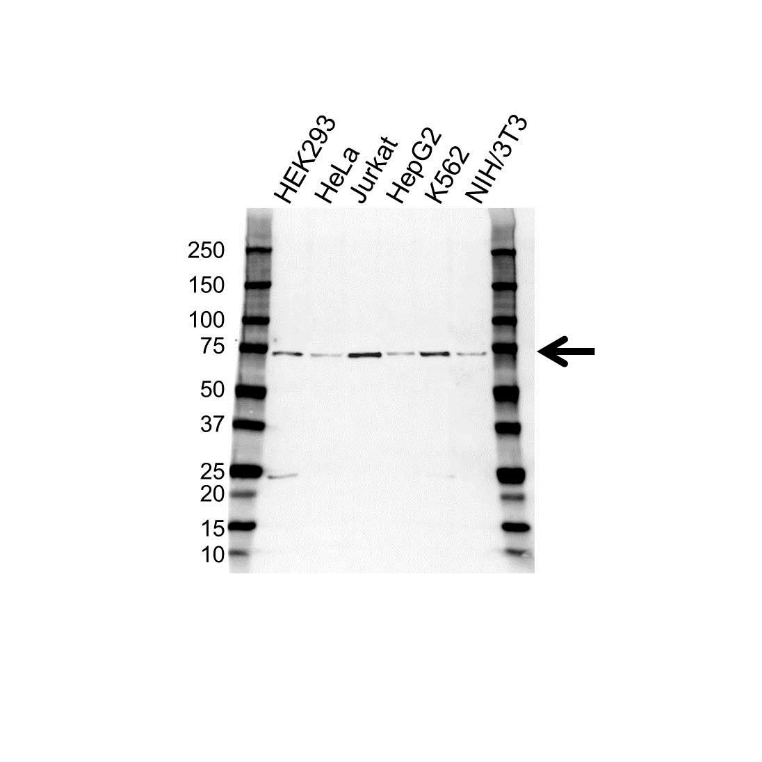 CPSF6 Antibody (PrecisionAb<sup>TM</sup> Antibody) gallery image 1