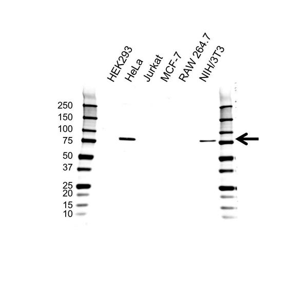 Cranin Antibody (PrecisionAb<sup>TM</sup> Antibody) gallery image 1
