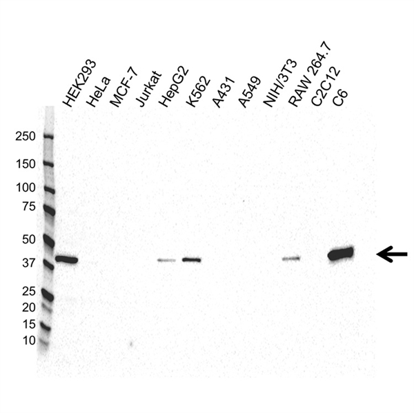 Creatine Phosphokinase Antibody (PrecisionAb<sup>TM</sup> Antibody) gallery image 1