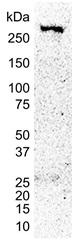 CREB Binding Protein Antibody | 2H5 gallery image 2