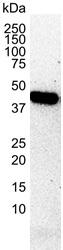CREB1 Antibody | 3F1-1B2 gallery image 2