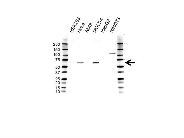 CREB3L1 Antibody (PrecisionAb<sup>TM</sup> Antibody) gallery image 1