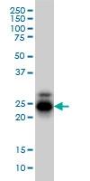 CREG1 Antibody | 1B7 gallery image 2