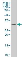 CSDA Antibody | 1H5 gallery image 1