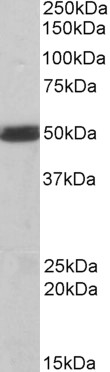 CSK Antibody gallery image 3