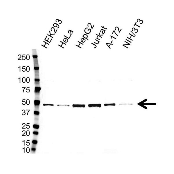 CTBP1 Antibody (PrecisionAb<sup>TM</sup> Antibody) gallery image 1
