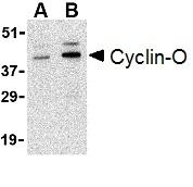 Cyclin-O Antibody gallery image 1