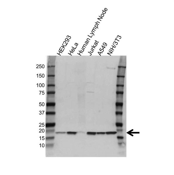 Cyclophilin A Antibody (PrecisionAb<sup>TM</sup> Antibody) gallery image 1