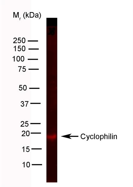 Cyclophilin A Antibody | 794 gallery image 3